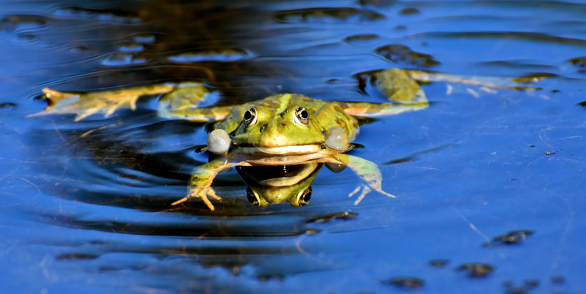 žába rybník